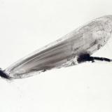 Europäische Prachtlibelle, 2002, 80 x 110 cm, Tusche auf Folie