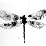 Libelle und Pi, 2009